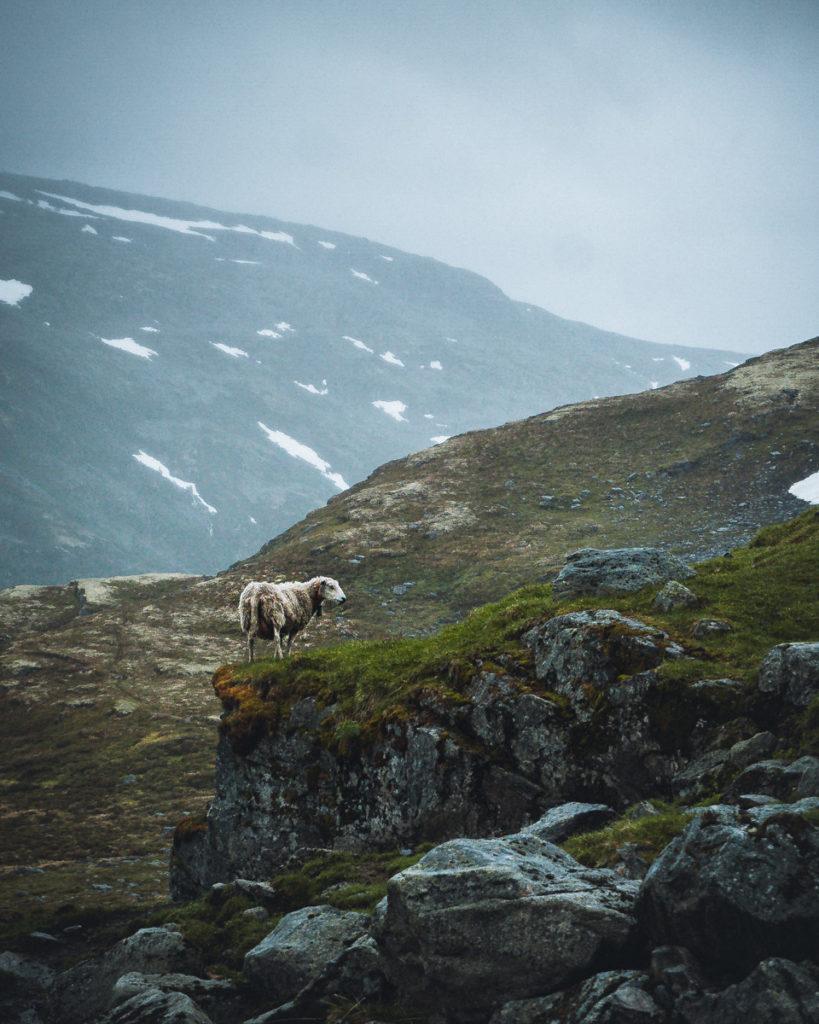 Aurlandsfjellet Schaf